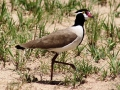 Black-headed Lapwing.
