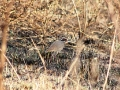 Bronze-winged courser_1