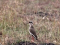 Crowned lapwing_1