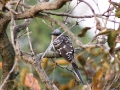 Greater spotted cuckoo_1