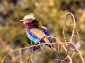 Lilac-breasted Roller.