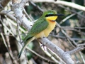 Little Bee-eater.