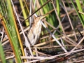 Little Bittern.