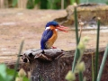 Malachite Kingfisher.