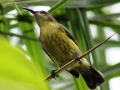 Olive-bellied Sunbird - female.