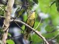 Petit's Cuckoo-shrike female_1