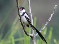 Pin-tailed Whydah.