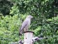 Western banded Snake-eagle.