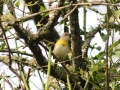 Yellow-breasted Apalis_1
