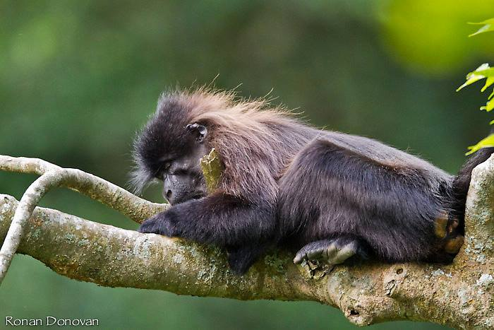 Ugandan endemic - The Uganda Mangabey, the species of old monkey only found in Uganda in Mabira central forest reserve